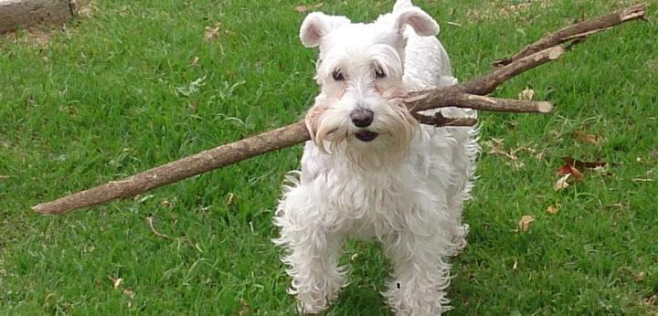 Schanauzer - Perros medianos bonitos para niños