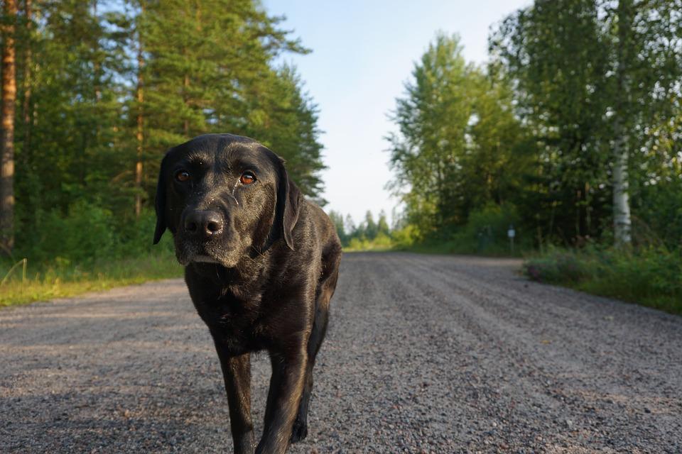 La-cirugia-estetica-para-perros-una-realidad-en-Estados-Unidos