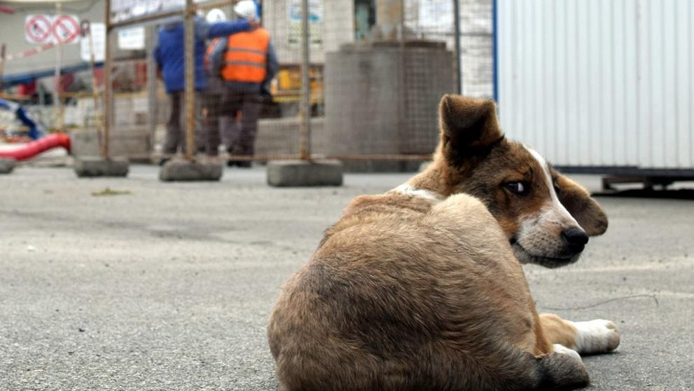 Les buscarán un nuevo hogar a los perros de Chernobyl
