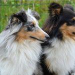 ¿Cuál es la edad humana de nuestros perros?