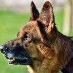 Nuevos perros policías entrenados podrían identificar a violadores