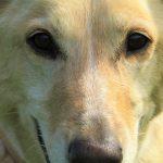 Los perros se comunican con el ser humano mediante gestos