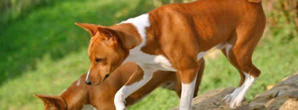 Basenji, la raza de perros que no ladra