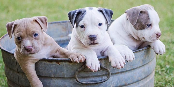 Reino Unido en contra de la cría masiva de perros