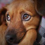 ¿Está mi perro deprimido? Cómo saber si un perro tiene depresión