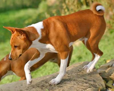Raza de perro Basenji: Características y fotos