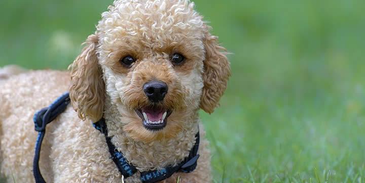 Caniche - Adoptar razas de perros para apartamentos pequeños