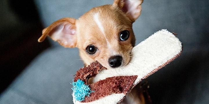 Chihuahua - Perros perfectos para pisos pequeños