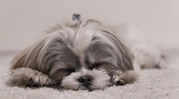 Shih Tzu - Razas de perros para vivir en pisos pequeños