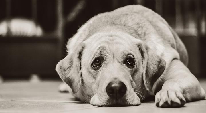 Síntomas de un perro con depresión