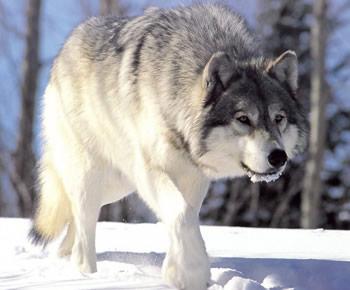 El lobo gris, ancestro de los perros
