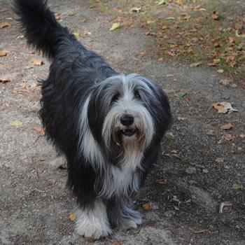 Bobtail - Razas de perros de tamaño grande