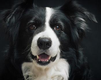 Razas de perros grandes - Collie pelo largo