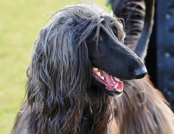 Perros grandes peludos - Galgo Afgano