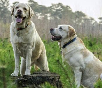Labrador (Golden Retriever) - Razas de perros grandes