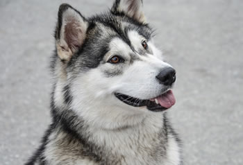 Alaskan Malamute - Razas de perros grandes
