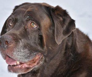 Seis signos comunes que verás cuando tu perro esté envejeciendo